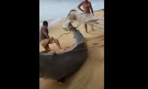 Tubarão gigante é capturado em praia de Presidente Kennedy