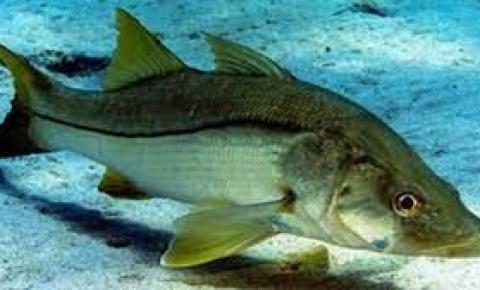 Pesca do robalo proibida até 30 de junho em Anchieta